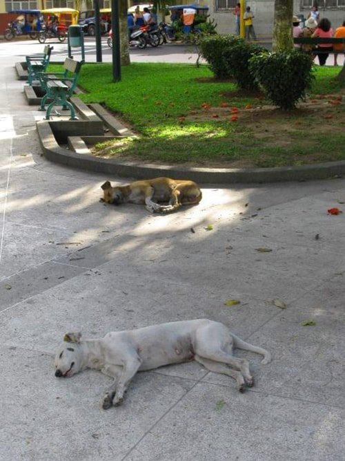 homeless but happy free dogs in iquitos peru sleeping on concrete in city parks